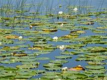 Lirios en un lago Imágenes de archivo libres de regalías