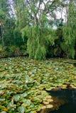 Lirios en un lago del bosque Imagen de archivo libre de regalías