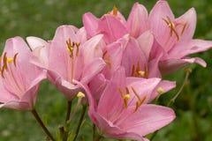 Lirios florecientes en el jardín Fotografía de archivo