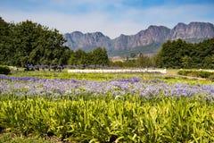 Lirios hermosos del cabo en el paisaje magnific de Suráfrica Foto de archivo libre de regalías