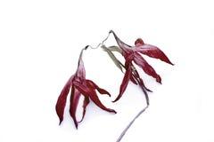 Lirios marchitados de la flor Foto de archivo libre de regalías