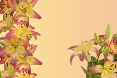 lirios Rosado-amarillos imagenes de archivo