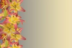 lirios Rosado-amarillos Imágenes de archivo libres de regalías