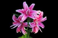 Lirios rosados Fotografía de archivo