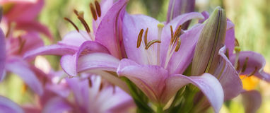 Lirios rosados Foto de archivo