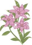 Lirios rosados Imagen de archivo libre de regalías