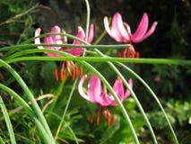 Lirios rosados Fotografía de archivo libre de regalías