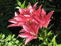 Lirios rosados Foto de archivo libre de regalías