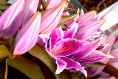 Lirios rosados de la perfección foto de archivo libre de regalías
