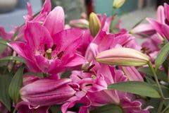 Lirios rosados hermosos en el jardín Foto de archivo