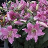 Lirios rosados hermosos en el jardín Fotos de archivo libres de regalías