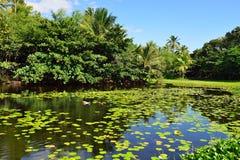 Lirios tropicales en la isla grande del lago de Hawaii Imagen de archivo