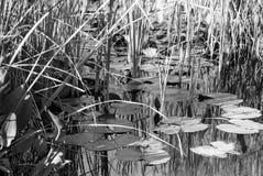Lirios y cañas de agua en una charca Fotos de archivo