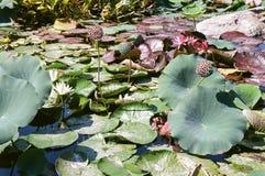 Lirios y Lotus Seeds de agua Fotografía de archivo