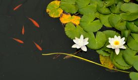Lirios y pescados de agua imágenes de archivo libres de regalías