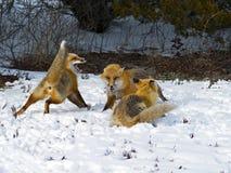 lisów czerwieni śnieg Fotografia Royalty Free