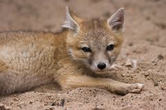 lisów potomstwa przyglądający błyskawiczni Obraz Stock