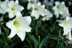 Lis blanc à l'arrière-plan de jardin Représentation à l'amour pur ou à l'amour à la première vue Images libres de droits