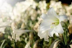 Lis blanc à l'arrière-plan de jardin Représentation à l'amour pur ou à l'amour à la première vue Photographie stock