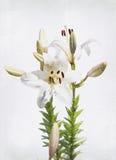 Lis blanc d'aquarelle Photographie stock libre de droits