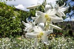 Lis blanc de floraison sur le patio parmi les arbres Photo stock