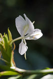 Lis blanc de gingembre, une fleur intense de parfum Photos libres de droits
