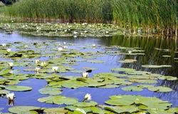 Lis blanc de l'eau fleurissante sur la rivière Dnieper Image stock