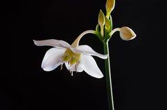 Lis blancs de fleur Images stock