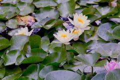 Lis blancs et roses dans un étang Photographie stock