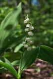 Lis blancs parfumés fleuris Majalis de Convallaria Photos libres de droits