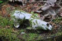 lis czaszka Obrazy Stock
