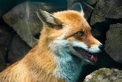 lis czerwień Obrazy Stock