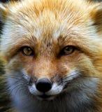 lis czerwień Obrazy Royalty Free