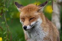 lis czerwień Obraz Royalty Free