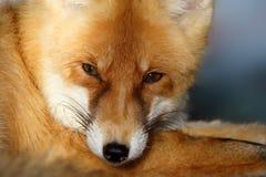 lis czerwonym vulpes Zdjęcia Royalty Free