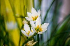lis décoratif Zephyranthes de pluie de fleur blanche grandiflora image stock
