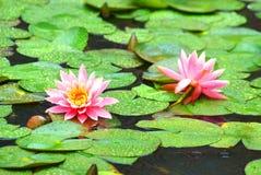 Lis d'étang sous la pluie Photographie stock libre de droits