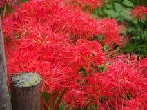 Lis d'araignée rouge au Japon photo stock
