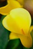 Lis d'arum jaune Images libres de droits
