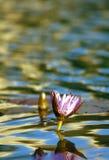 Lis d'eau Image libre de droits