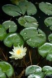 Lis d'eau blanche Photo libre de droits