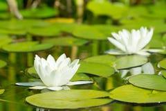 Lis d'eau blanche images stock