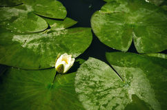 Lis d'eau blanche Photographie stock libre de droits