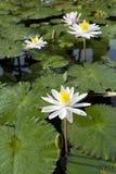 Lis d'eau blanche dans un étang Images stock