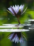 Lis d'eau dans l'étang Image libre de droits