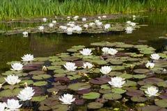 Lis d'eau dans l'étang Image stock