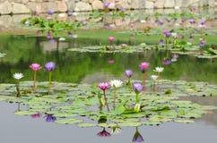 Lis d'eau dans l'étang Images stock