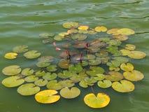 Lis d'eau dans un lac photo libre de droits