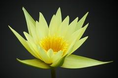 Lis d'eau jaune d'isolement sur le noir photographie stock