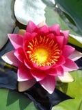 Lis d'eau magenta rose Images libres de droits
